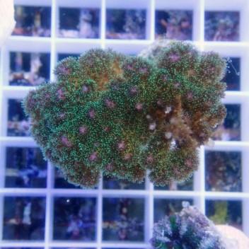 Pocillopora tricolor pocillo103