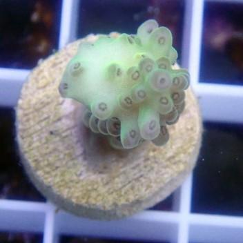 Acropora tenuis acro8384