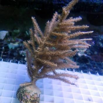 Gorgone symbiotique Rumphella