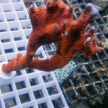Montipora digitata rouge vif monti576