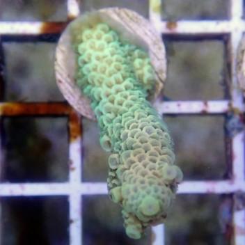Acropora tenuis bleu acro8400