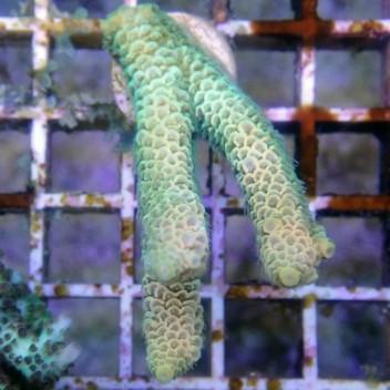 Acropora millepora acro8403