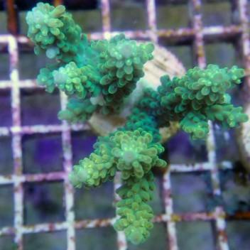 Acropora sp polype jaune acro8409
