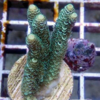 Acropora millepora acro8443