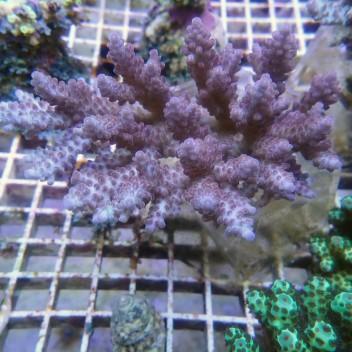 Acropora nasuta xl acro8446