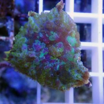Rhodacthis multicolor disco79