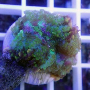 Rhodacthis multicolor disco81