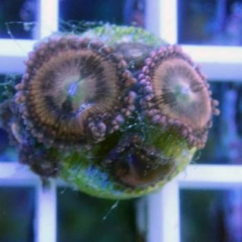 Zoanthus sakura Z772