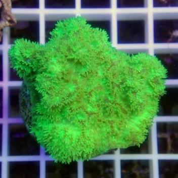 Hydnophora vert hydno28