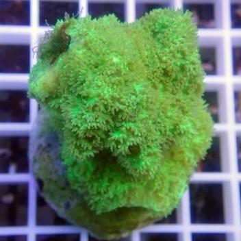 Hydnophora vert encroûtant hydno29