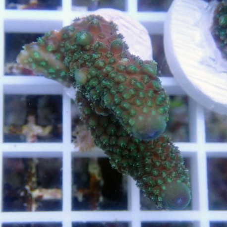 Acropora humilis acro8498