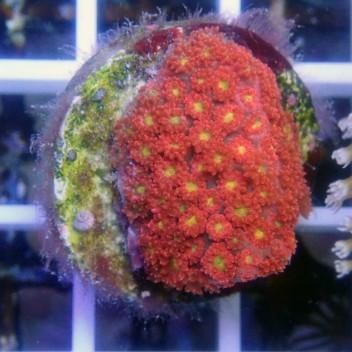 Goniopora rose gonio242