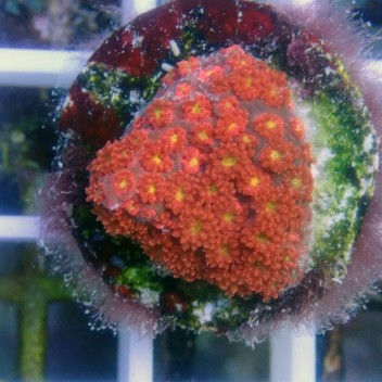 Goniopora rouge coeur jaune ultra très petit polype gonio243