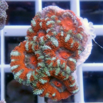 Acanthastrea lordhowensis AL912