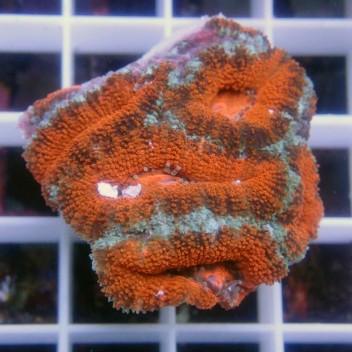 Acanthastrea lordhowensis AL920