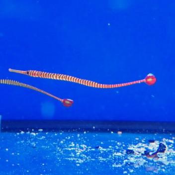 Dunckerocampus pessuliferus