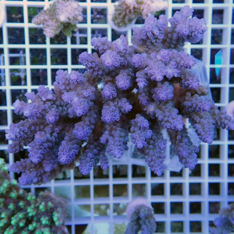 Acropora hyacinthus acro8545
