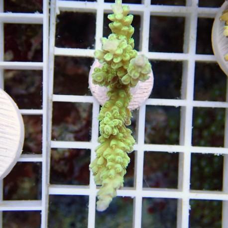 Acropora batunai acro8584