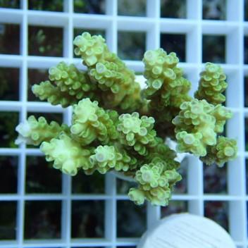 Acropora batunai acro8587