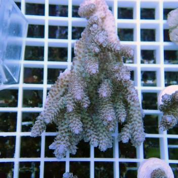 Acropora valida violet acro8596