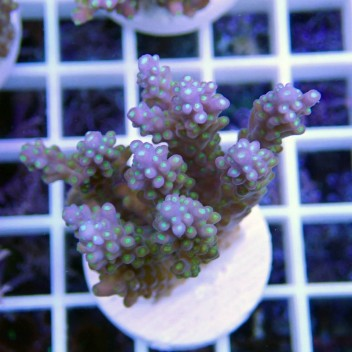Acropora subulata tricolo acro8608