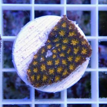 Leptastrea orange lepta7