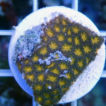 Leptastrea orange lepta9