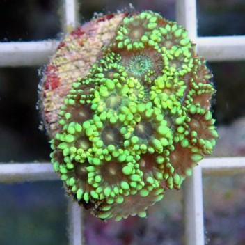 Goniopora vert polype gonio238