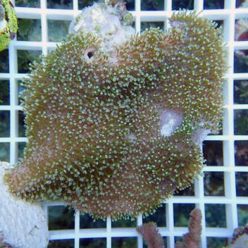 Sarcophyton polype brun vert sarco114