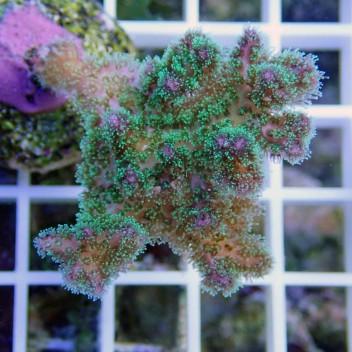 Pocillopora tricolor pocillo107