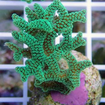 Seriatopora calendrium SC142