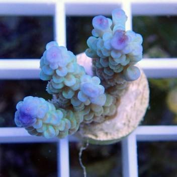 Acropora tenuis bleu ciel acro8644