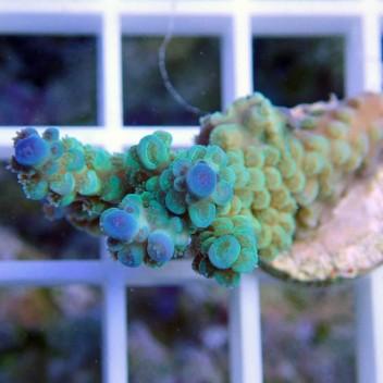 Acropora tenuis bleu turquoise acro8645