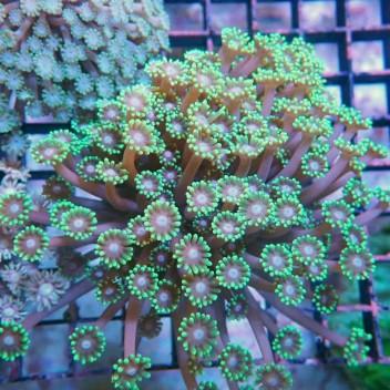 Goniopora vert polype gonio246