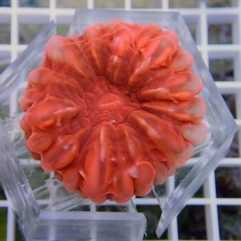 Cynarina lacrymalis rouge sang cyna38
