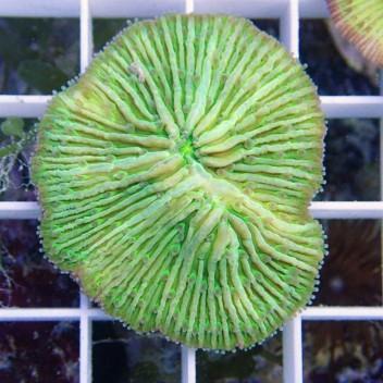 Fungia sp Fungia64