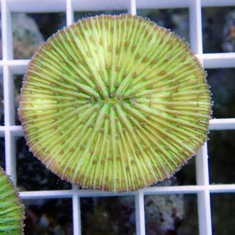 Fungia sp Fungia68