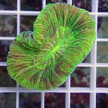 Trachyphyllia vert trachy84