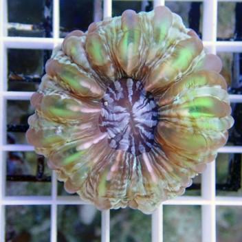 Cynarina lacrymalis cyna39