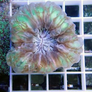 Cynarina lacrymalis cyna40