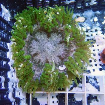 Epicystis crusifer crusifer9