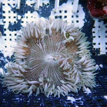 Epicystis crusifer crusifer10