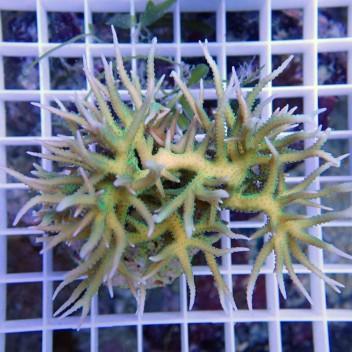 Seriatopora hystrix vert SH222
