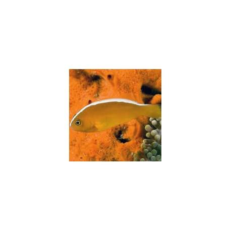 Couple d'Amphiprion ocellaris noir