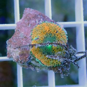 Ricordea floridae orange ultra RF211