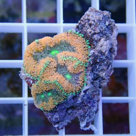 Ricordea floridae orange ultra RF218