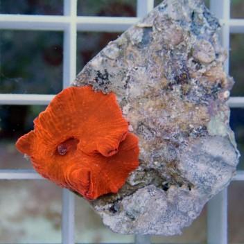 Discosoma rouge orange disco84