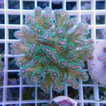 Pocillopora tricolor pocillo109