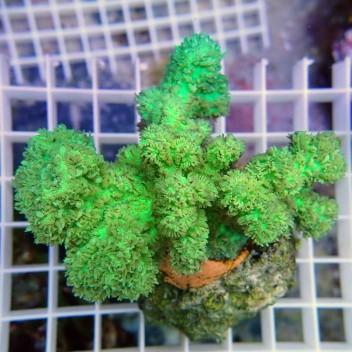Hydnophora vert encroûtant hydno30