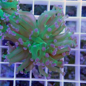 Euphyllia yaeyamensis bicolor euphy282